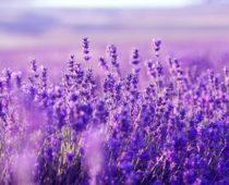 Levandule – jak jí pěstovat?